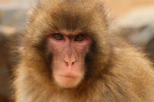 Photo of Japanese snow monkey.